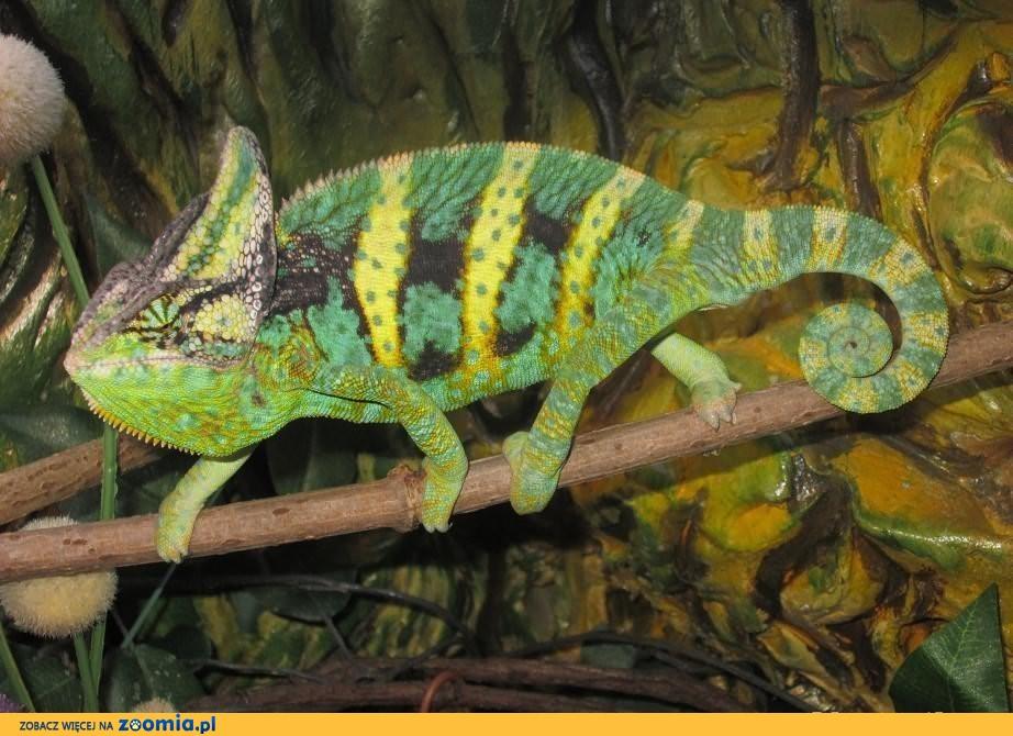 Kameleon Jemeński, Kameleony - Warszawa
