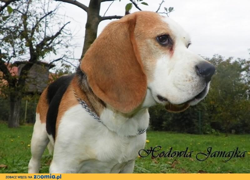 Beagel, beagle Krycie - Reproduktor z rodowodem-S.M.P.R              Rodowód