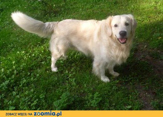 Pies Golden Retriever szuka suczki,  małopolskie Kraków