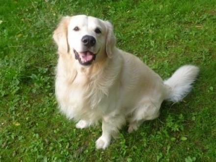 Pies Golden Retriever szuka suczki   małopolskie Kraków