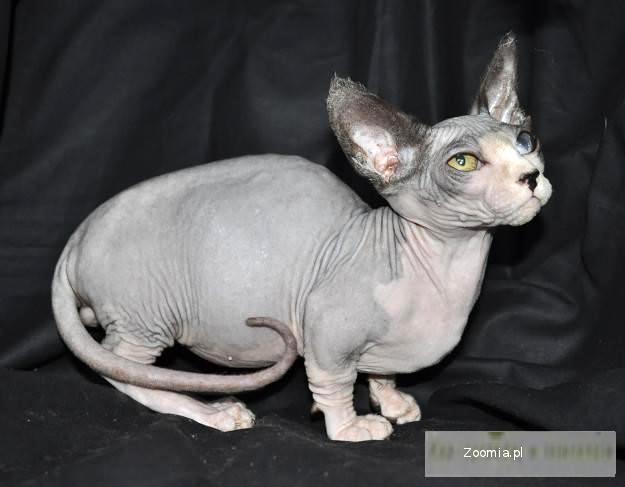 Topnotch Kot Sfinks - ogłoszenia z hodowli. Koty Sfinks / Zoomia.pl pl 2 RY75