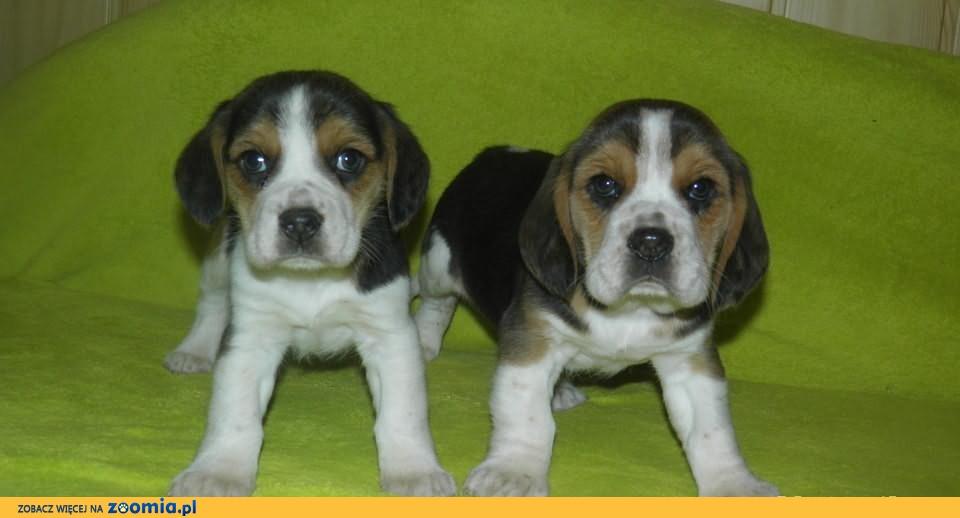 beagle z rodowodem