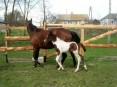 srokate konie