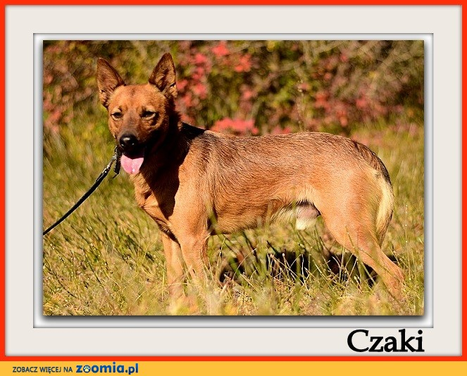 Roczny,9 kg,łagodny,bardzo madry,grzeczny,szczepiony psiak CZAKI_Adopcja_