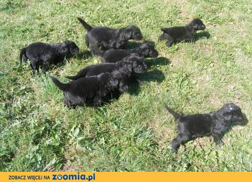 czarny terier rosyjski,  wielkopolskie Gostyń
