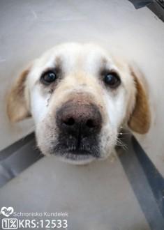 Albin - zrezygnowany  porzucony labrador szuka domu