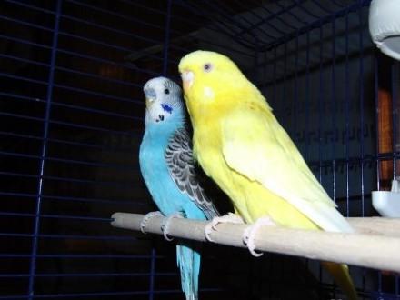 Papugi Faliste wraz z klatką