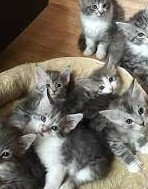 Kolorowe kocięta Maine Coo=-=