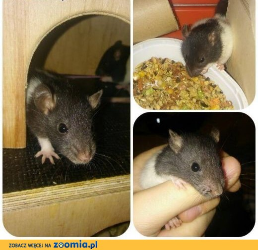 Sprzedam szczury,  warmińsko-mazurskie Pisz