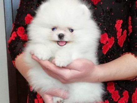 Szpic miniaturowy  Pomeranian  Piesek Boo do odbioru