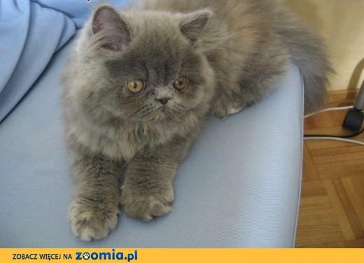 Nowoczesna architektura Ogłoszenia: oddam kota, oddam kocięta w typie Kot Perski / Zoomia OM21