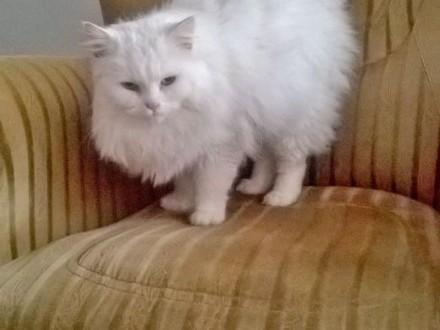 Biały kot syberyjski   wielkopolskie Oborniki