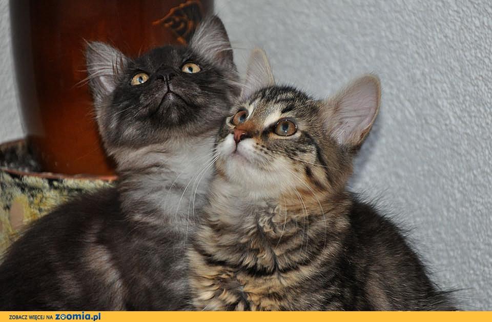Cudowne Kociaki Syberyjskie z Rodowodem z Domowej Hodowli