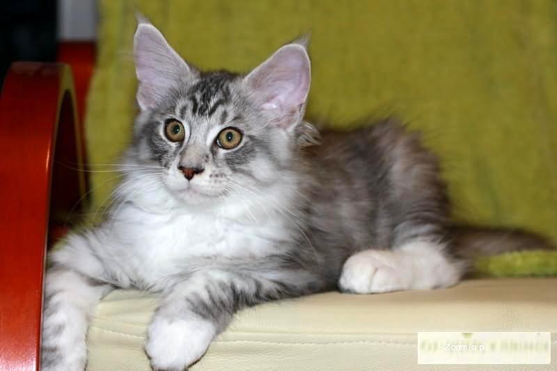 Śliczne kocięta MAINE COON szukają nowych domów