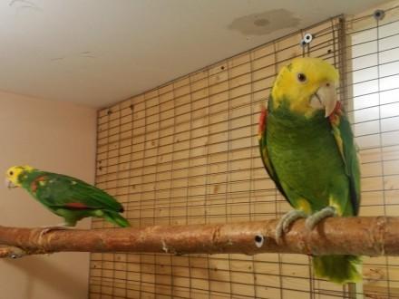 Amazonki oratrix para dobrana 2016r  papuga   papugi