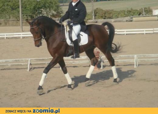 Śliczny koń ujeżdżeniowy,  podlaskie Dąbrowa Białostocka