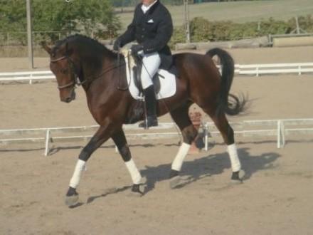 Śliczny koń ujeżdżeniowy   podlaskie Dąbrowa Białostocka