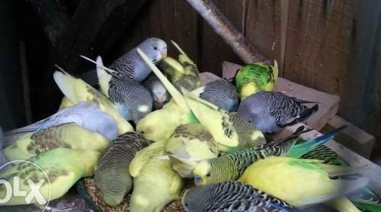 sprzedam faliste papugi