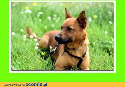 2 LATA, 10KG,czysty,idealny w domu,pies jednego PANA,adopcja,  śląskie Katowice