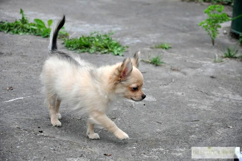 Beżowy szczeniaczek chihuahua z rodowodem .ZOBACZ FAJNY FILM