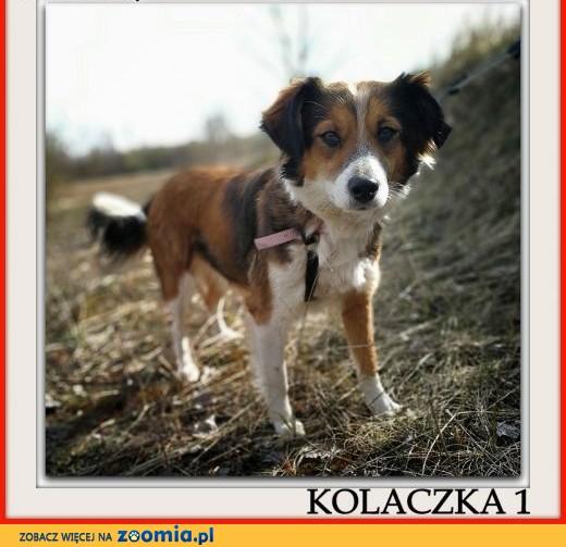 Mała 9 kg,1,5 roczna sunia,grzeczna,kontaktowa,sterylizowana KOLACZKA 1.Adopcja.,  małopolskie Kraków