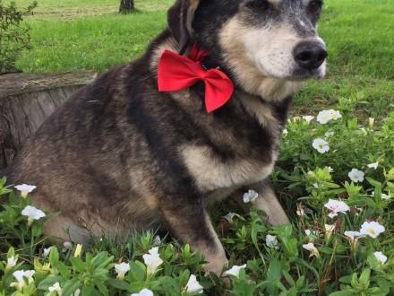 Różyczka kochana psia staruszka do adopcji