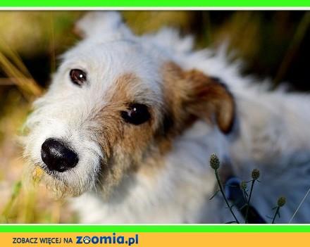 BOBER  sredni pies  foksterierr mix  energiczny wesoły_Adopcja_