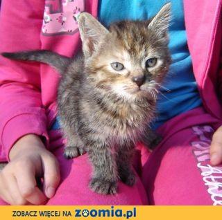 Kot, koty kocięta kotki szylkretki czarne i bure ADOPCJA