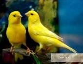 kanarki śpiewające wodnotokowe malinois
