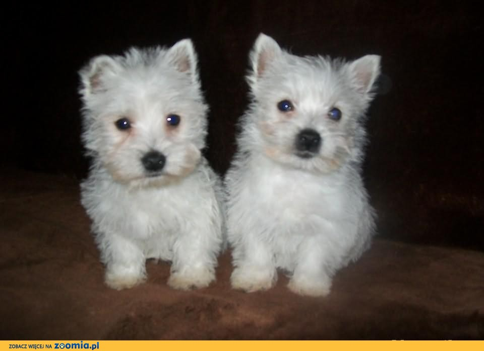 West Highland White Terrier, dwa pieski