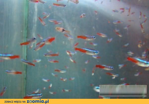 NEON INNESA - Komplety - Sklep zoologiczny ZooWitek