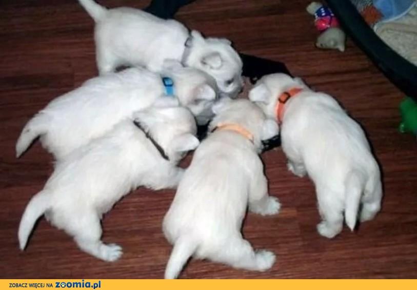 West Highland White Terrier szczeniaki