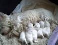 'West Highland White Terrier szczeniaki