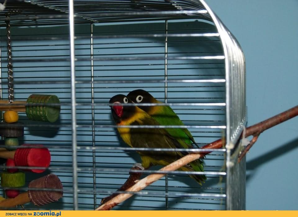 Papużki nierozłączki z klatką