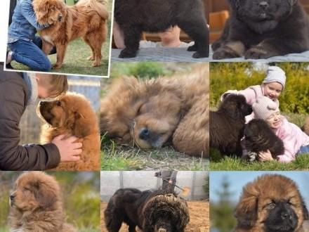 Mastif tybetański - planowany miot 2019/2020 przyjmujemy rezerwacje