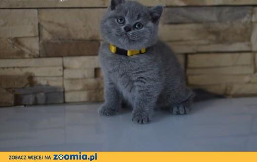 Kocięta Brytyjskie Niebieskie z Rodowodem FPL ,  dolnośląskie Wrocław