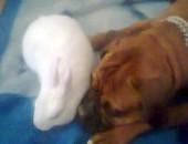 Oddam za darmo królika