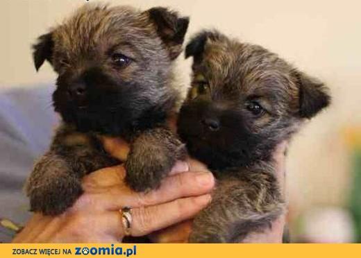 Wesole szczenieta rasy Cairn Terrier,  wielkopolskie Konin
