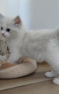 Kocięta Ragdoll - kwintesencja rasy (towarszyskie słodziaki  mądre  rezolutne  odważne)
