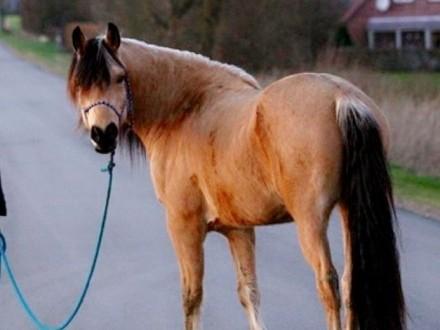 Klasyczny wałach konia z klasycznym Buckskin