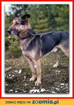 Owczarek niem_mix 6 lat przyjazny kontaktowy zaszczepiony pies HUZAR_Adopcja_