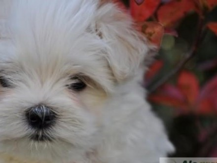 Pies Maltańczyk Ogłoszenia Z Hodowli Psy Maltańczyki