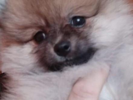 Śliczne szczenięta Pomeraniana