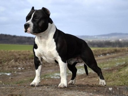 American Staffordshire Terrier Amstaff pies rodowód FCI