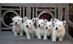 Piękne West Highland White Terrier szczenięta