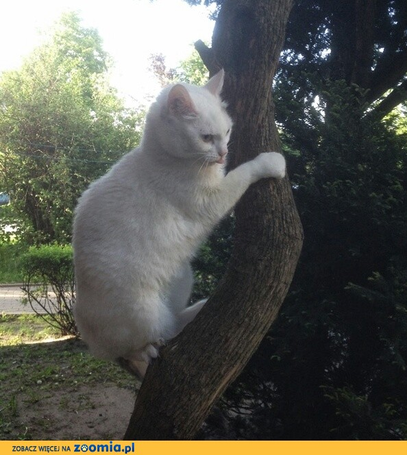 Zaginęła biała kotka - Łódź Koziny