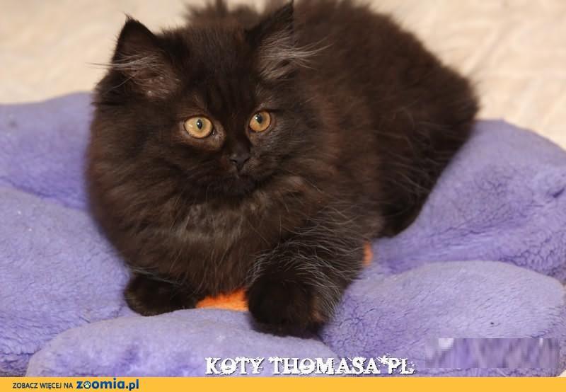 Kot Brytyjski Ogłoszenia Z Hodowli Koty Brytyjskie Zoomiapl Pl 2