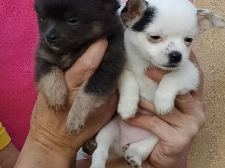 Sprzedam psy chihuahua