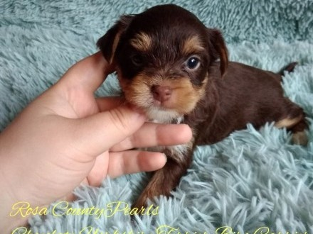 Chocolate Yorkshire Terrier Biro Carrier suczka nie Biewer