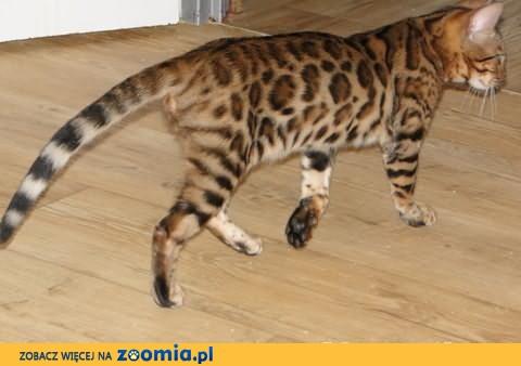 Kot bengalski - lampart w domu